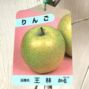 リンゴ 苗木 王林 12cmポット苗 (ワイ性) おうりん りんご 苗 林檎 gv