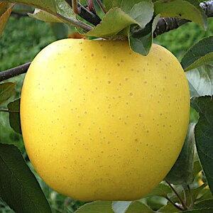 リンゴ 苗木 シナノゴールド (PVP) 15cmポット苗 (ワイ性) りんご 苗 林檎