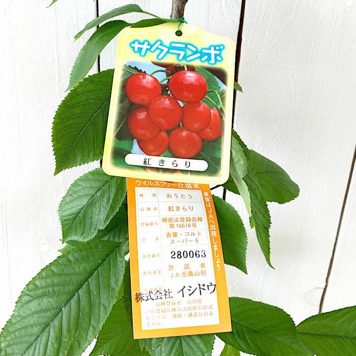サクランボ 苗木 紅きらり (PVP) 13.5cmポット苗 さくらんぼ 苗 gv