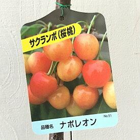 サクランボ 苗木 ナポレオン 12cmポット苗 さくらんぼ 苗 gv