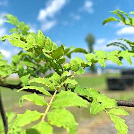 山椒 苗木 ブドウサンショウ 15cmポット苗 ぶどうさんしょう サンショウ 苗 さんしょう