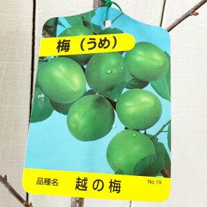 梅 苗木 越の梅 12cmポット苗 うめ 苗 ウメ gv