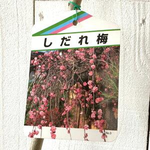 花梅 苗木 しだれ梅 (ピンク) 12cmポット苗 はなうめ 苗 ハナウメ gv