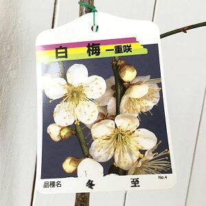 花梅 苗木 冬至 (白) 12cmポット苗 はなうめ 苗 ハナウメ gv