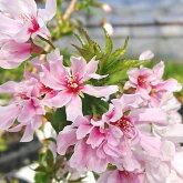 招福桜16.5cmプラ鉢