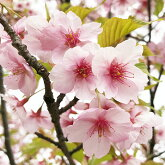 河津桜12cmポット苗
