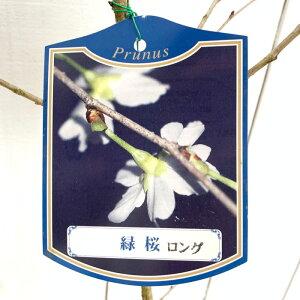 桜 苗木 緑桜 12cmロングポット苗 みどりざくら さくら 苗 サクラ gv