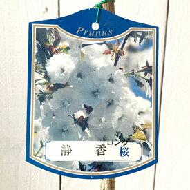桜 苗木 静香 12cmロングポット苗 しずか さくら 苗 サクラ gv
