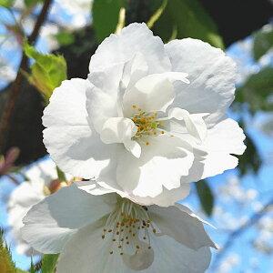 桜 苗木 白妙 12cmロングポット苗 しろたえ さくら 苗 サクラ gv