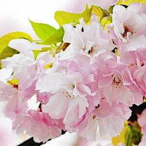 桜 苗木 楊貴妃 12cmロングポット苗 ようきひ さくら 苗 サクラ gv