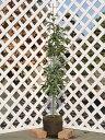 アラカシ単木 1.5m露地 1本【1年間枯れ保証】【生垣樹木】