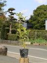 アラカシ株立ち 0.3m10.5cmポット 1本【1年間枯れ保証】【生垣樹木】