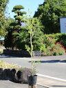 イヌツゲ 0.8m15cmポット 1本【1年間枯れ保証】【生垣樹木】