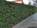 【1年間枯れ保証】【生垣樹木】イヌマキ 0.2m10.5cmポット 【あす楽対応】