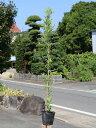 イヌマキ 0.8m15cmポット 1本【1年間枯れ保証】【生垣樹木】