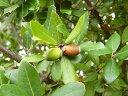 【1年間枯れ保証】【生垣樹木】ウバメガシ 1.2m15cmポット 【あす楽対応】