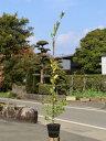 ウバメガシ 1.2m15cmポット 10本セット 送料無料【1年間枯れ保証】【生垣樹木】