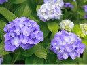 【1年間枯れ保証】【春に花が咲く木】アジサイ 0.2m10.5cmポット 【あす楽対応】