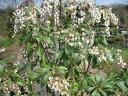 【1年間枯れ保証】【春に花が咲く木】アセビ 0.8m露地 2本セット 送料無料 【あす楽対応】