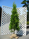 エレガンテシマ 2.0m露地 2本セット【1年間枯れ保証】【シンボルツリー常緑】