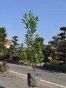 カラタネオガタマ/ポートワイン 0.8m18cmポット 1本【1年間枯れ保証】【春に花が咲く木】