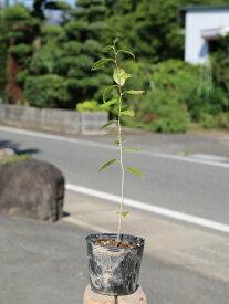 エゴノキ 0.3m10.5cmポット 1本【1年間枯れ保証】【街路樹&公園樹】