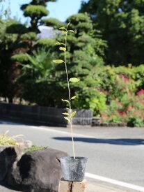 エゴノキ 0.5m10.5cmポット 1本【1年間枯れ保証】【街路樹&公園樹】