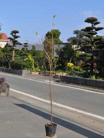 エゴノキ 0.8m15cmポット 1本【1年間枯れ保証】【街路樹&公園樹】