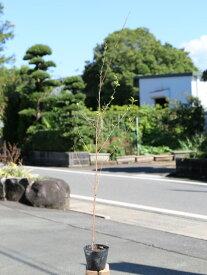 エゴノキ 1.0m10.5cmポット 1本【1年間枯れ保証】【街路樹&公園樹】