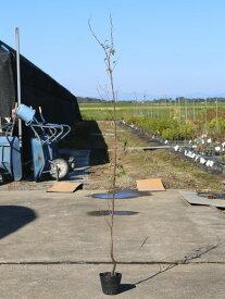 エゴノキ 1.5m15cmポット 1本【1年間枯れ保証】【街路樹&公園樹】