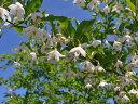 【1年間枯れ保証】【シンボルツリー落葉】エゴノキ株立ち 1.5m露地 【あす楽対応】