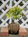 【1年間枯れ保証】【低木】オタフクナンテン 0.3m露地 【あす楽対応】