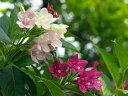 【1年間枯れ保証】【春に花が咲く木】ハコネウツギ 0.5m 15cmポット 【あす楽対応】
