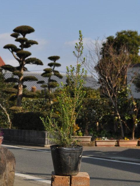 【1年間枯れ保証】【低木】ジャノメエリカ 7.5cmポット 【あす楽対応】