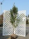 シイモチ単木 2.0m露地 1本【1年間枯れ保証】【シンボルツリー常緑】