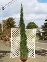 カイヅカイブキ 2.5m露地 2本セット【1年間枯れ保証】【シンボルツリー常緑】