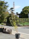 ギンバイカ 0.5m10.5cmポット 1本【1年間枯れ保証】【生垣樹木】