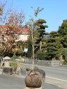 【1年間枯れ保証】【生垣樹木】ギンバイカ 1.0m露地 1本