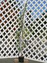 【1年間枯れ保証】【生垣樹木】ギンバイカ 1.4m15cmポット 4本セット 送料無料 【あす楽対応】