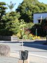 キンモクセイ 0.3m10.5cmポット 1本【1年間枯れ保証】【生垣樹木】