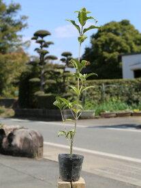 キンモクセイ 0.5m10.5cmポット 1本【1年間枯れ保証】【生垣樹木】