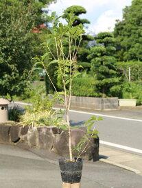 キンモクセイ 0.8m15cmポット 1本【1年間枯れ保証】【生垣樹木】