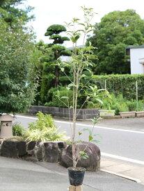 キンモクセイ 1.0m15cmポット 1本【1年間枯れ保証】【生垣樹木】