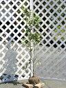 キンモクセイ 1.2m露地 1本【1年間枯れ保証】【シンボルツリー常緑】