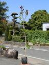 【1年間枯れ保証】【生垣樹木】ギンモクセイ 0.7m10.5cmポット 30本セット 送料無料