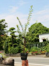 コデマリ 1.0m15cmポット 1本【1年間枯れ保証】【春に花が咲く木】
