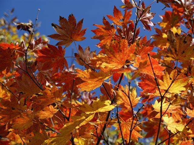 【1年間枯れ保証】【紅葉が美しい木】コハウチワカエデ 0.3m10.5cmポット 【あす楽対応】