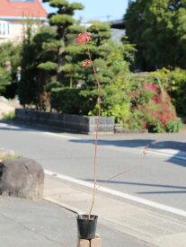 コハウチワカエデ/実生 0.8m10.5cmポット 1本【1年間枯れ保証】【紅葉が美しい木】