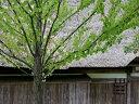 【1年間枯れ保証】【葉や形を楽しむ木】カツラ 1.0m15cmポット 【あす楽対応】