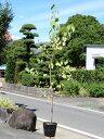 カツラ 1.2m15cmポット 1本【1年間枯れ保証】【葉や形を楽しむ木】